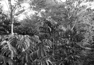pengertian agroforestry