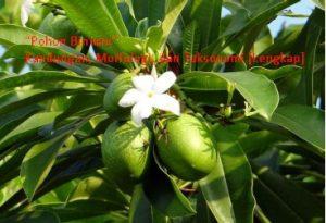 Pohon Bintaro