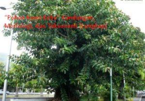 Pohon Karet Kebo