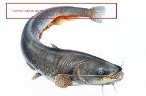 Pengertian Ikan Lele dan Penjelasannya Lengkap