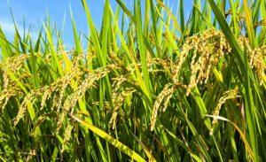 pengertian padi menurut para ahli