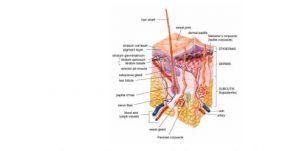 penyerapan obat pada kulit manusia