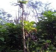 pengertian tanaman singkong