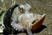 kanduangan hewan gurita