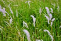 kandungan tanaman alang-alang